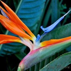HI-BirdsofParadise